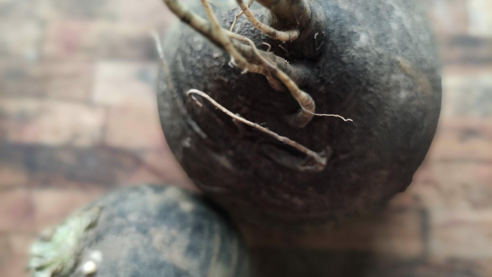 radice di rafano nero